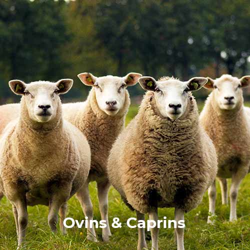 Ovins & Caprins